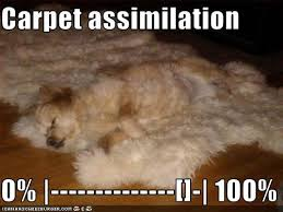 carpet assimilation (0 - 100%) a dog lays on a carpet that looks just like him