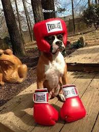 Boxer dog wearing boxing equipment