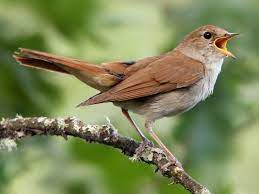A nightingale on a branch