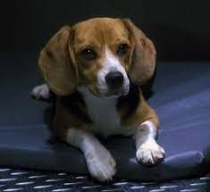 Porthos the Beagle